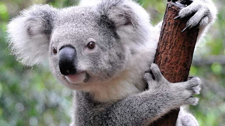 https://operationearthca.files.wordpress.com/2020/01/koala1.jpg?w=770